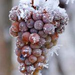 Les vins de glace du Québec dans l'eau chaude?