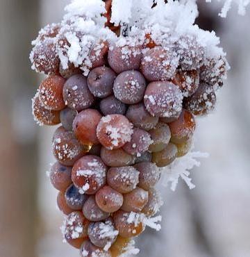 Les vins de glace du Québec dans l'eau chaude? – Journal Le St-Armand