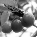 La forêt nourricière, un agroécosystème productif et renouvelable
