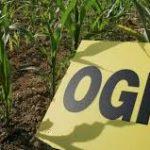Les cultures OGM chez nous