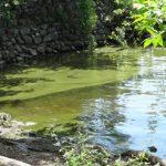 Les cyanobactéries sont de retour dans la baie